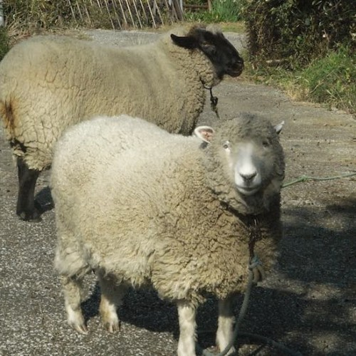 三浦半島の羊
