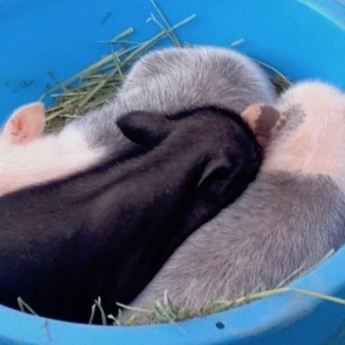 東京農大収穫祭の仔豚