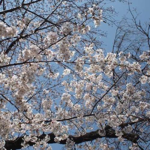 豪徳寺の桜2019