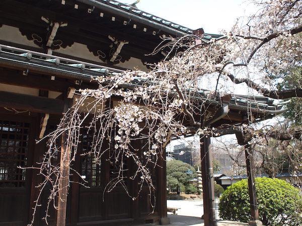 豪徳寺の枝垂れ桜