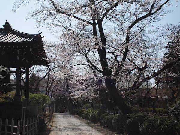 豪徳寺の桜
