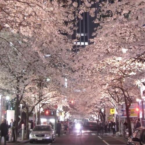 日本橋桜通り01