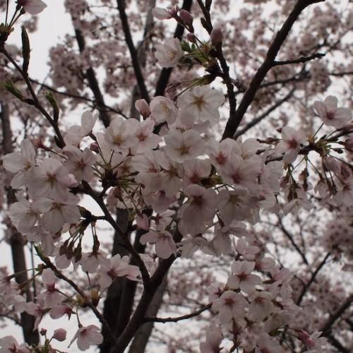 呑川緑道の桜01