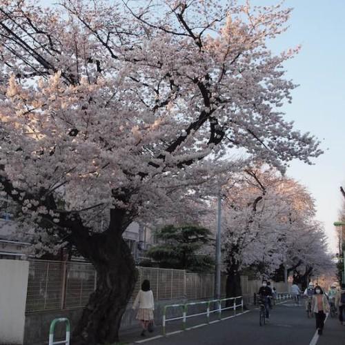 桜丘中学校の桜